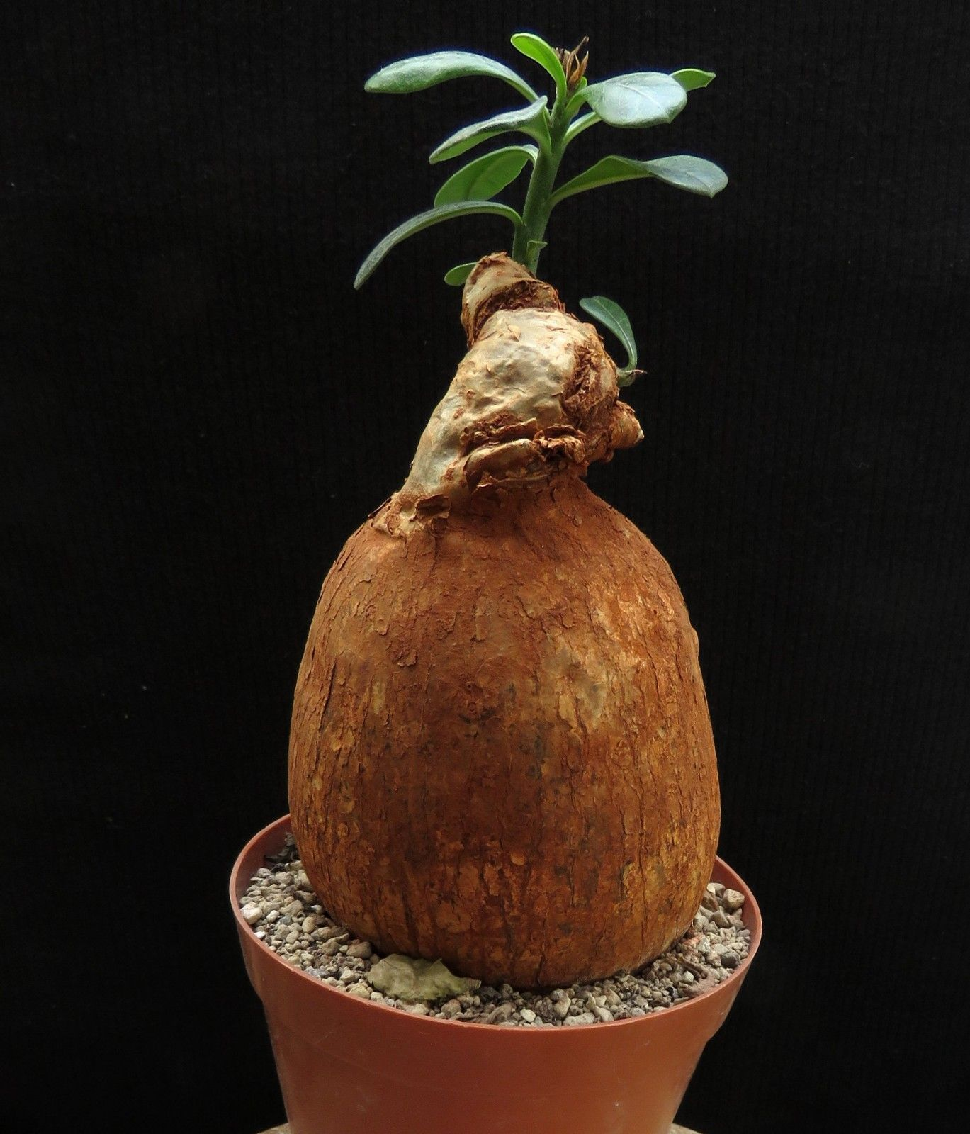 Adenium obesum,Kenya,Caudex,Ariocarpus,Bulb | eBay