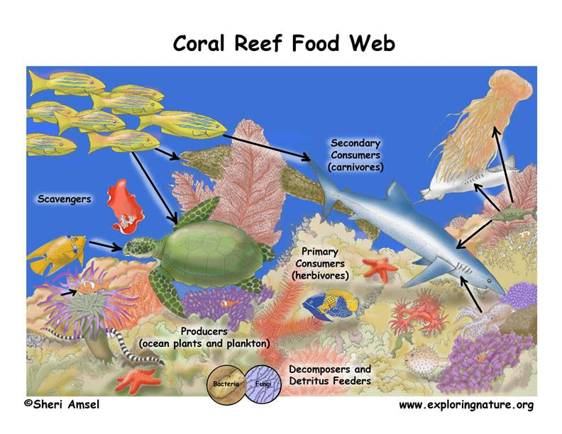 Coral Reef Food Web Exploring Nature Educational Resource Coral Reef Food Web Ocean Food Web Coral Reef Ecosystem