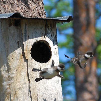 First flight, photo by Karin Thorell Birds, Animals