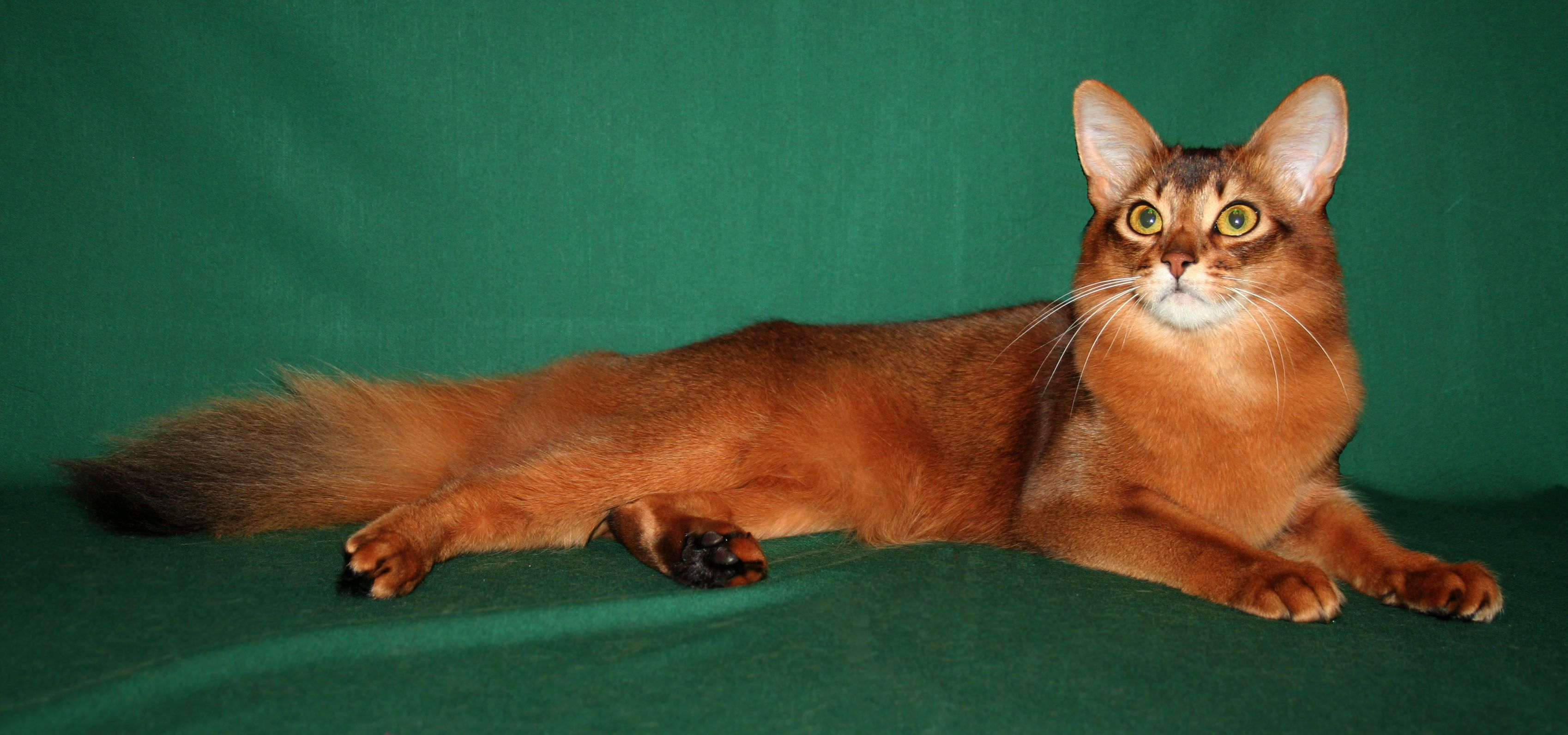 Somali Cat Looks Personality and How to Care for Your Somali