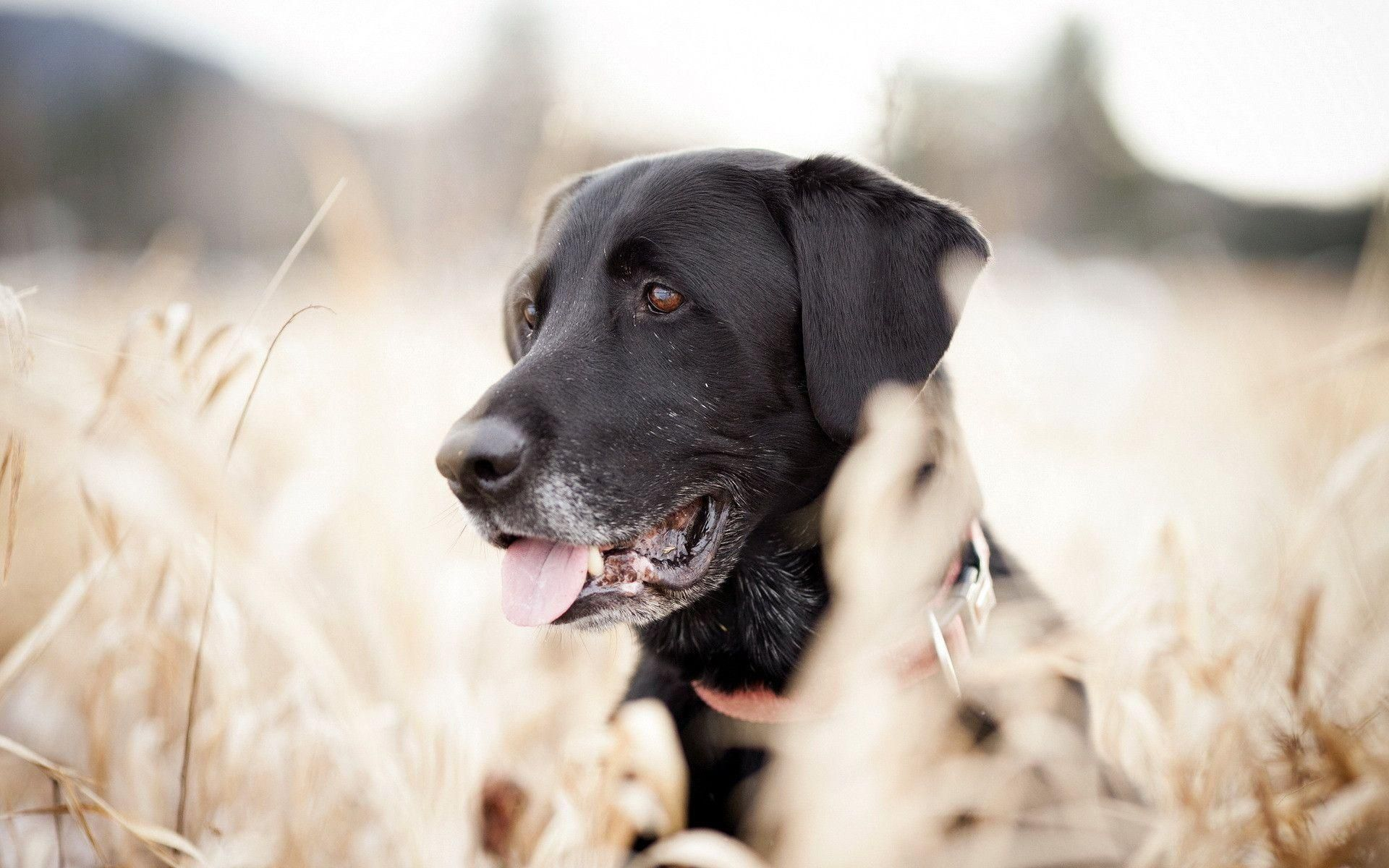Labrador Dog Hd Wallpapers And Backgrounds 22 Dog Wallpaper Labrador Dog Black Labrador