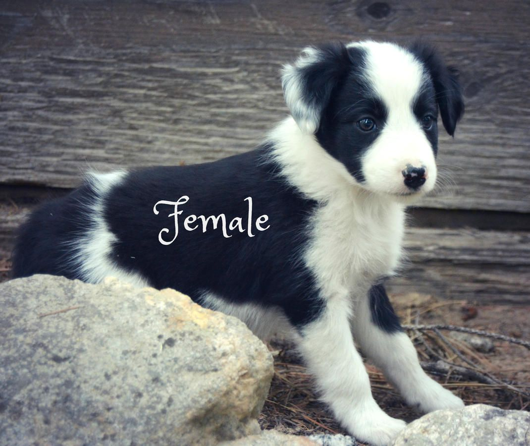 Mini Aussie Dreams In Seattle Washington Hoobly Classifieds
