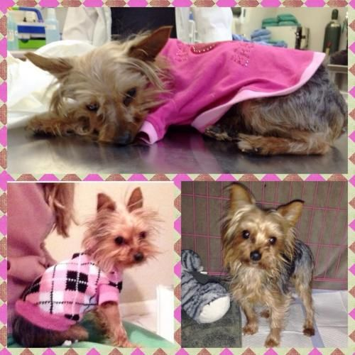 Sinclair is a 1-year-old female #Yorkie that was saved from the shelter where she was on the brink of death. She was in very poor condition but we have nursed her back to health and she is doing wonderful! She is the sweetest little girl and only weighs 5 lbs. An adult home is preferred with full time companionship for Sinclair. http://www.doggielife.com/sinclair/dogs/VKDR2E