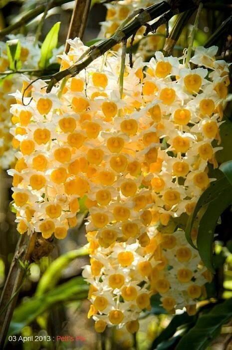Dendrobium Hawaiian orchid