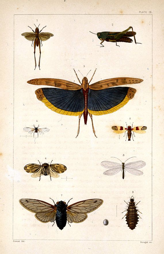 11x17 Vintage Science Plate Poster Insects Moth Cricket 042