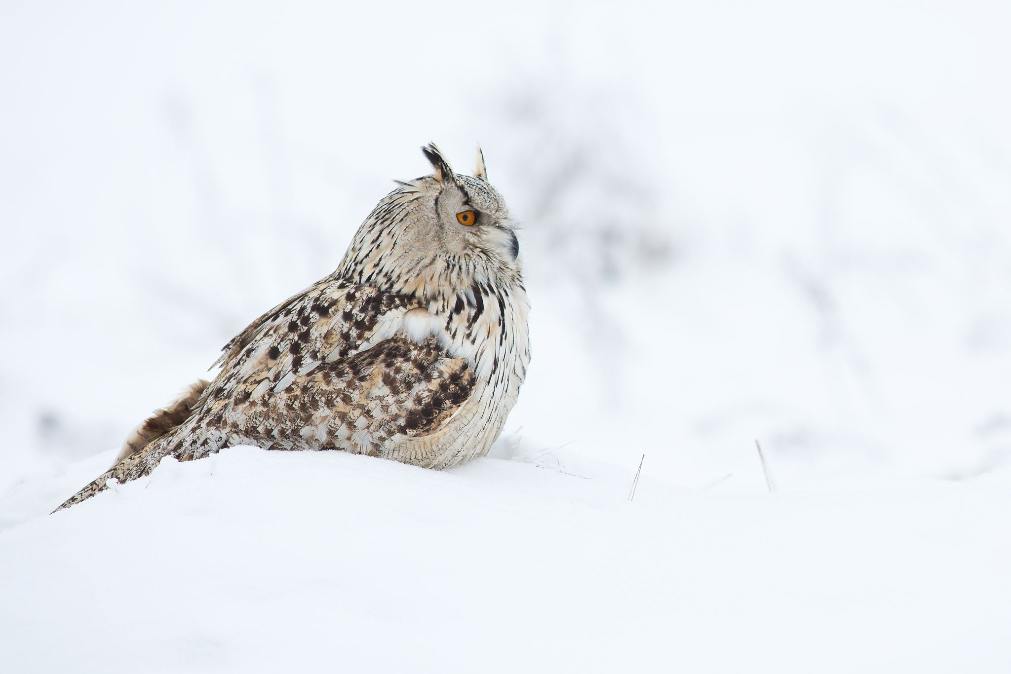 Bubo Bubo Sibiricus by Milan Zygmunt on 500px