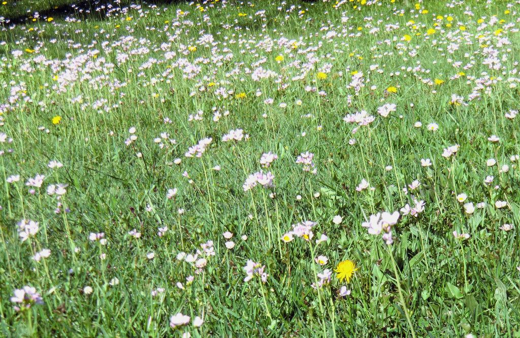 Blühende Cardamine auf der Gartenwiese