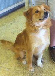 Adopt Simon On Golden Retriever Rescue Nova Scotia Duck Tolling