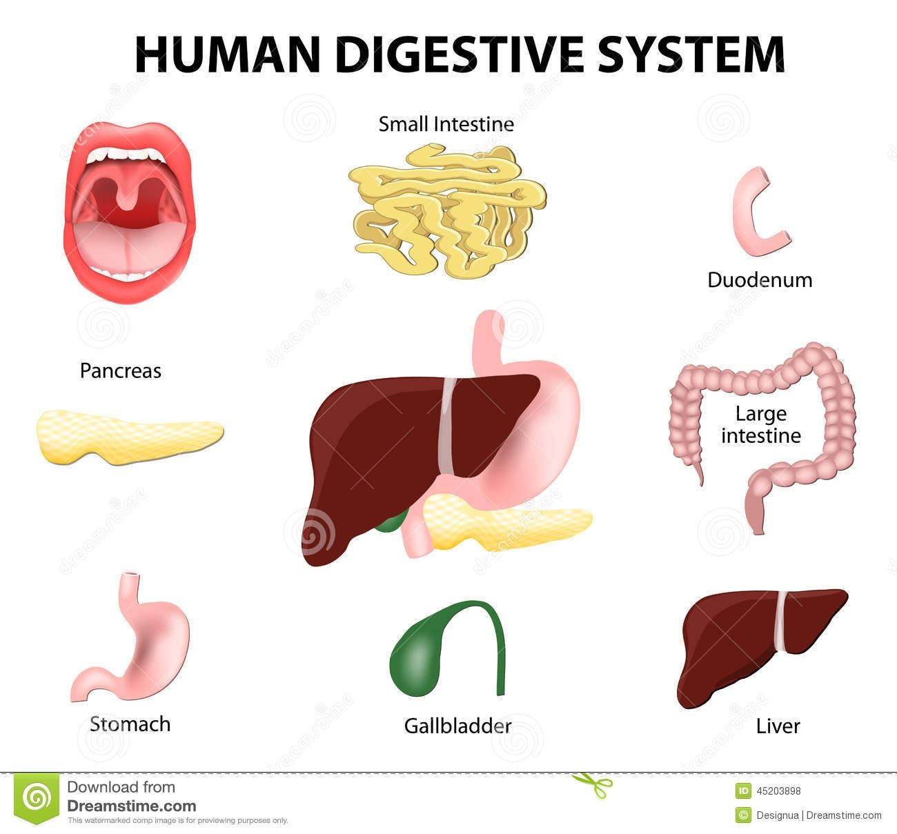 Digestive System Organs Diagram Digestive Stock Illustrations ...