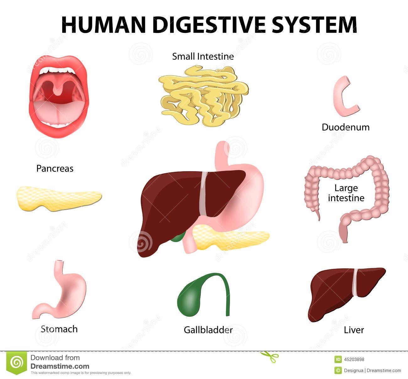 Digestive System Organs Diagram Digestive Stock Illustrations ...