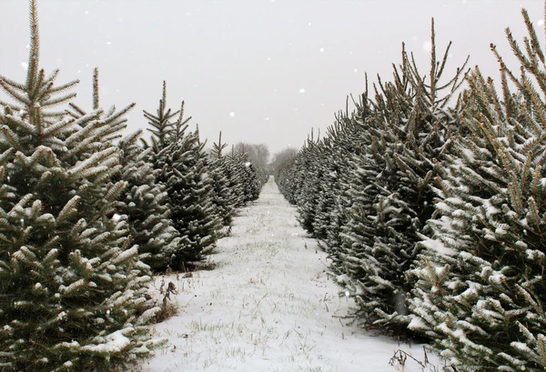 Kate Christmas Pines Tree Farm Path Backdrop For Photography Tree Farms Live Christmas Trees Farm Backdrop