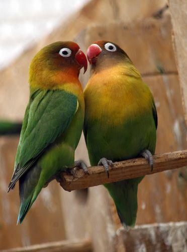 Craigslist Pets Parrots