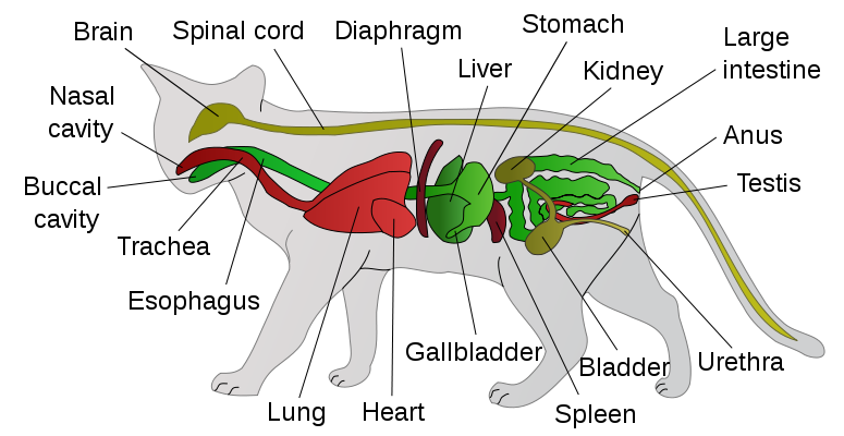File:Scheme cat anatomy-en.svg | All about cats | Pinterest ...