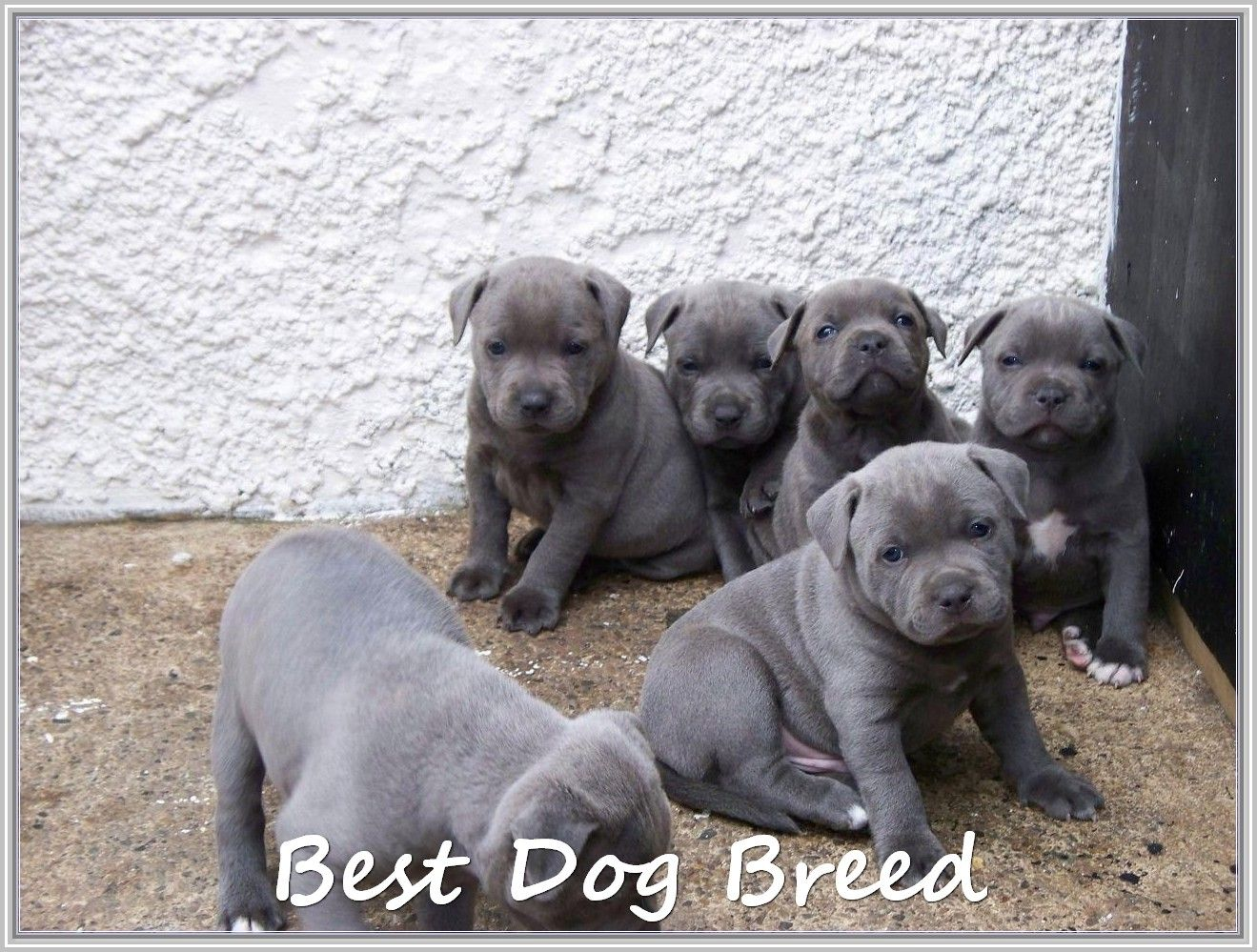 Talking About Dog Staffordshire Bull Terrier Puppies Bull