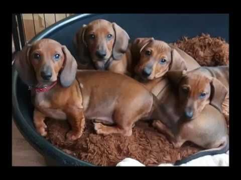 funny cute dachshund videos compilation 2017 youtube animals