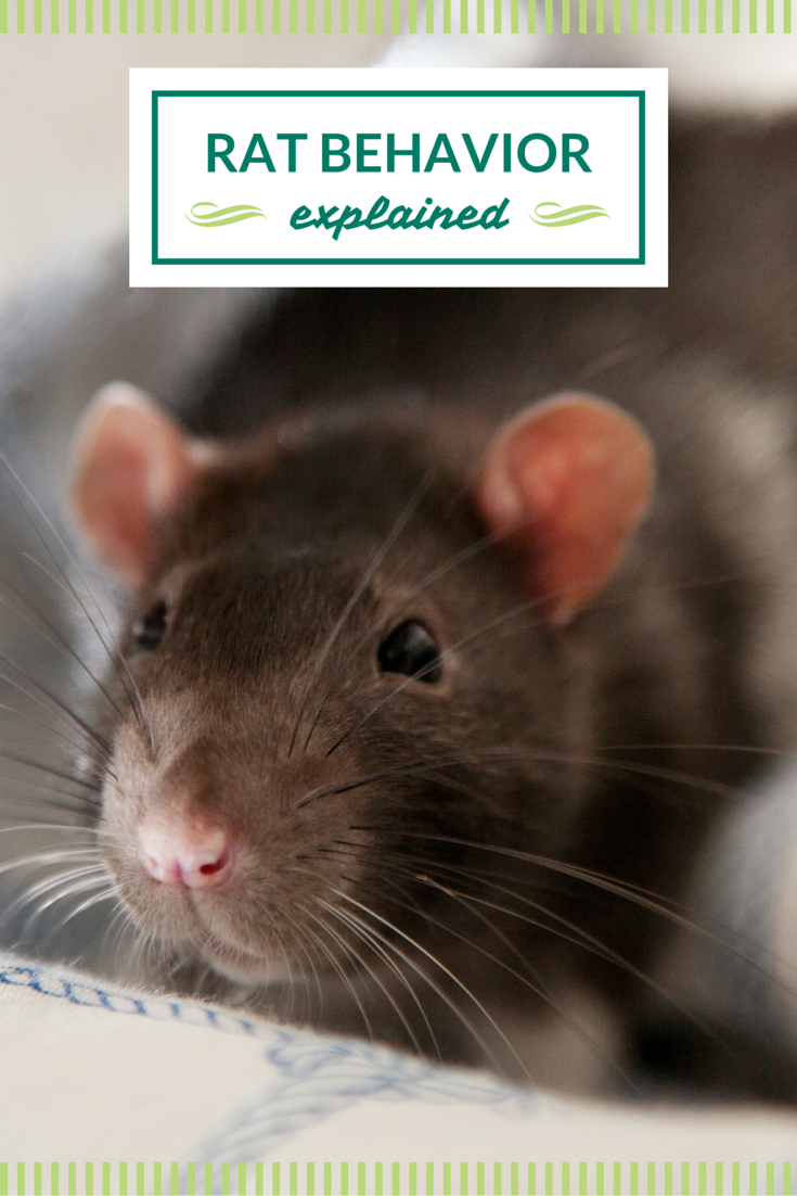 What Are Some Common Rat Behaviors Find Out Here With Images Pet Rats