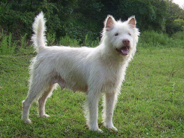 Xiasi Dog is a breed of dog originating from Guizhou ...