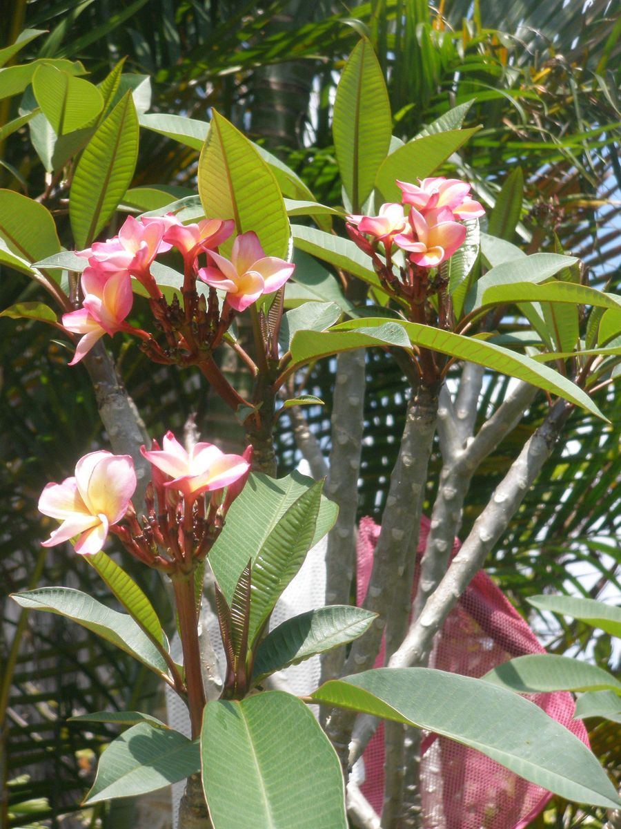 Hawaiian lei flower plant rare hawaiian lei flower tree