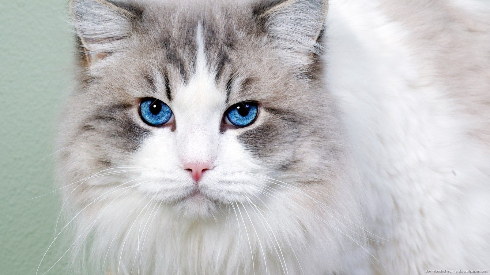 Blue Eyes Cat With Blue Eyes Grey And White Cat Beautiful Cats