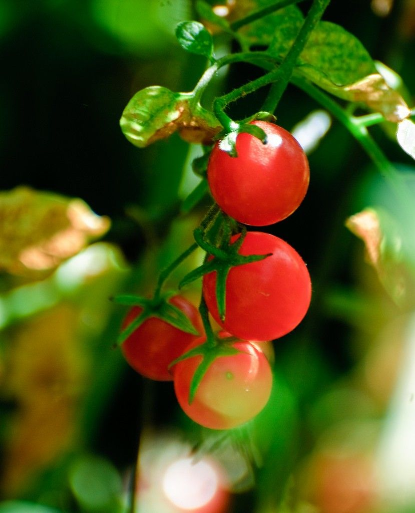 What Are Currant Tomatoes Different Types Of Currant 400 x 300