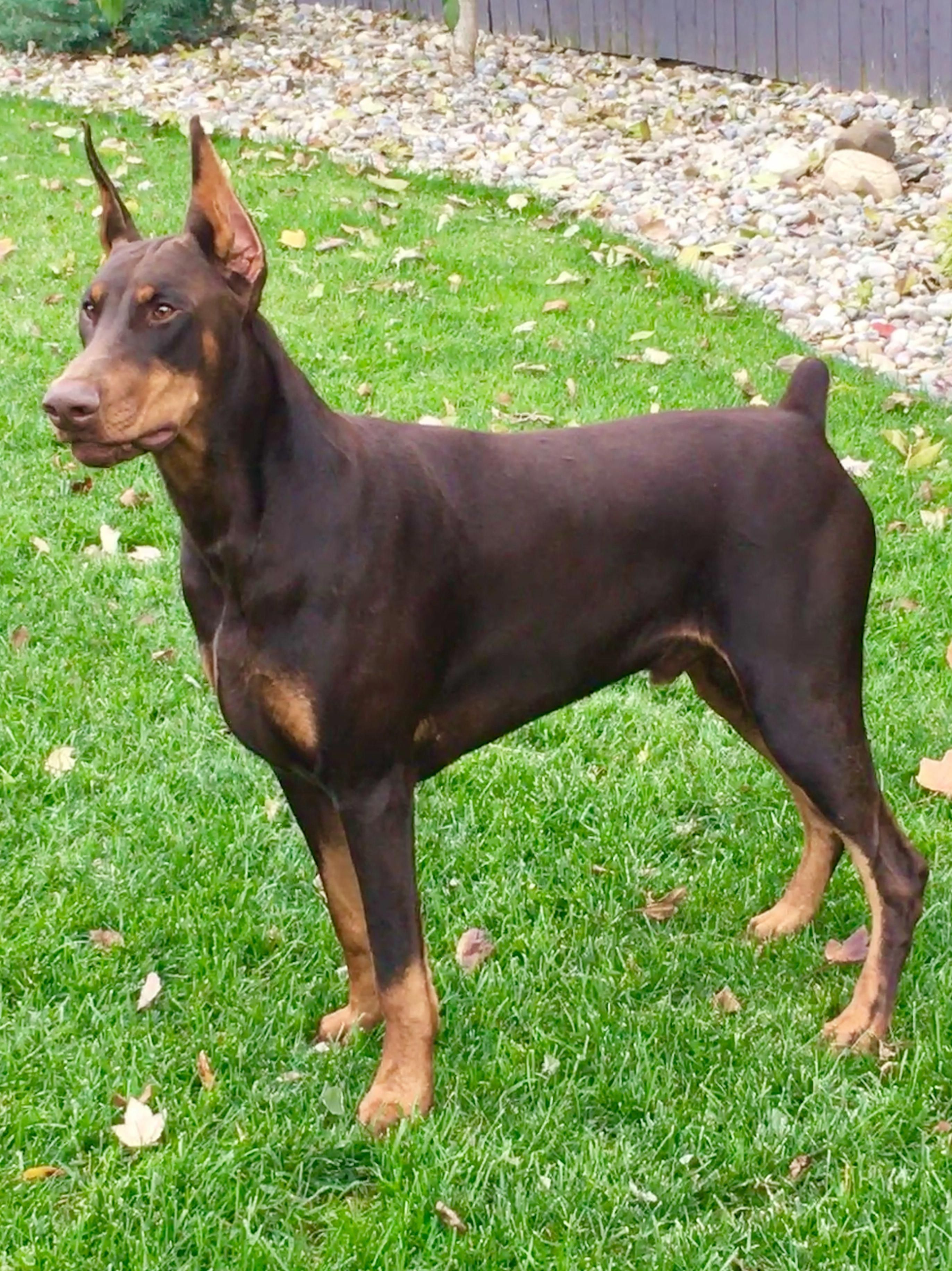 The Traits I Respect About The Energetic Doberman Pinschers Puppy