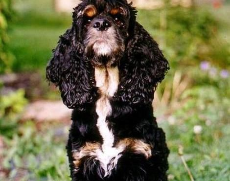 American Cocker Spaniel Pictures Of American Cocker Spaniel Cocker Spaniel Black Cocker Spaniel