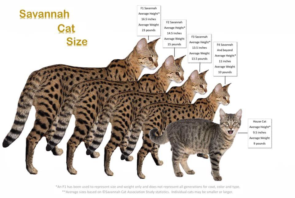 Savannah Cat Size Owners Want Their Savannah Cats To Be Big In 2020 Savannah Cat F3 Savannah Cat Savannah Chat