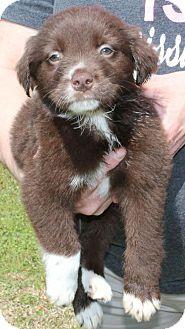 Prattville Al Border Collie Mix Meet Noland 26414 A Puppy For