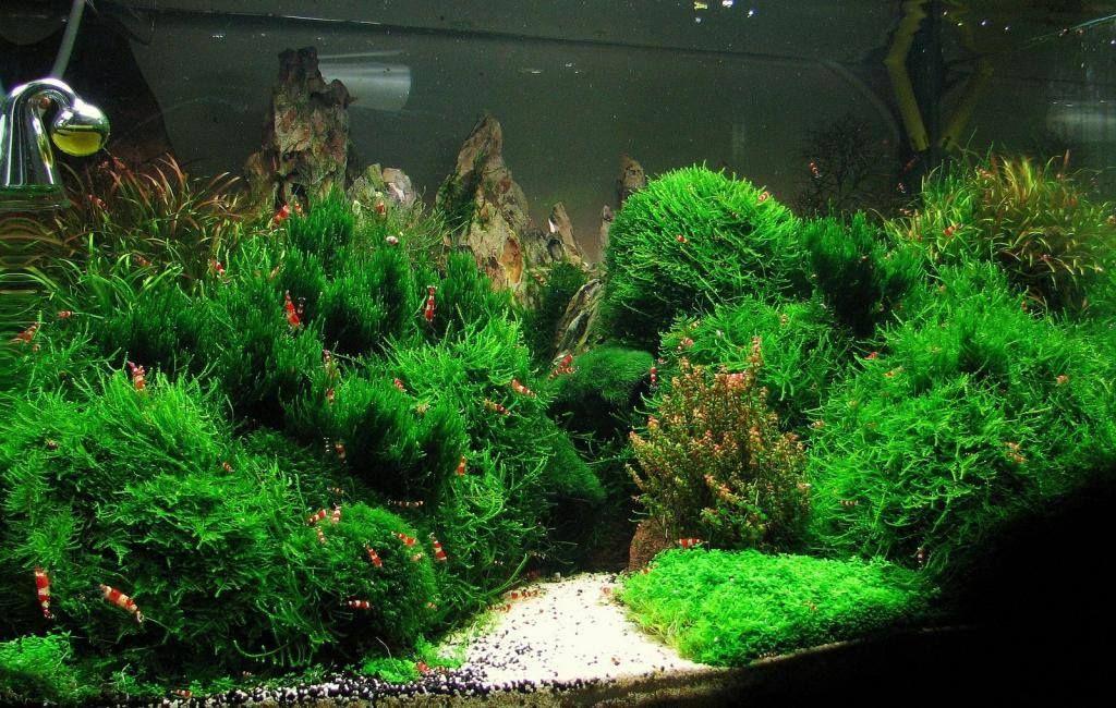One Of Best Shrimp Tanks I Ve Ever Seen Mosses Mosses Mosses Planted Aquarium Aquarium Landscape Aquarium