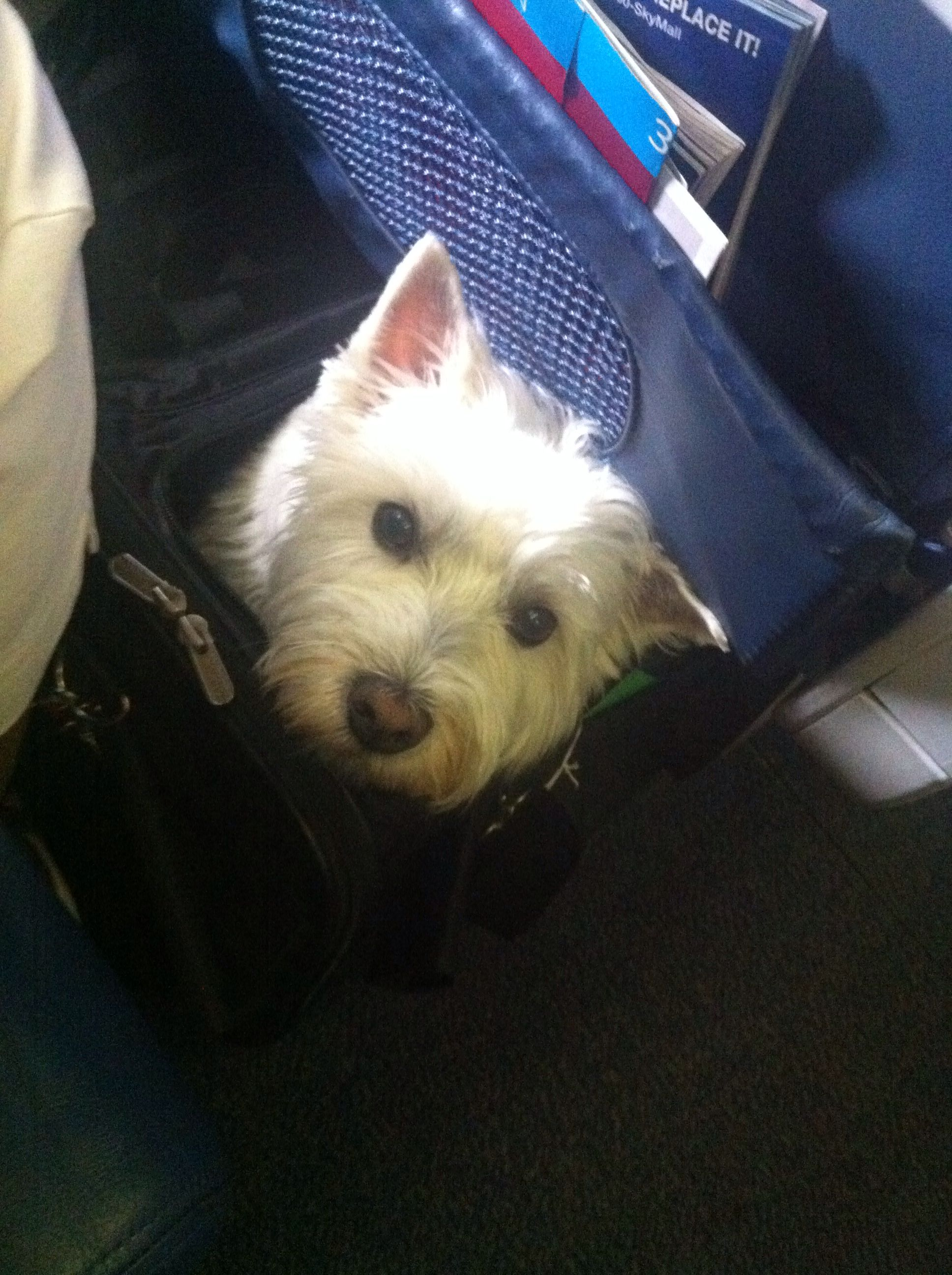 Westie On An Airplane Under The Seat In A Carrier Westies Dogs White Dogs