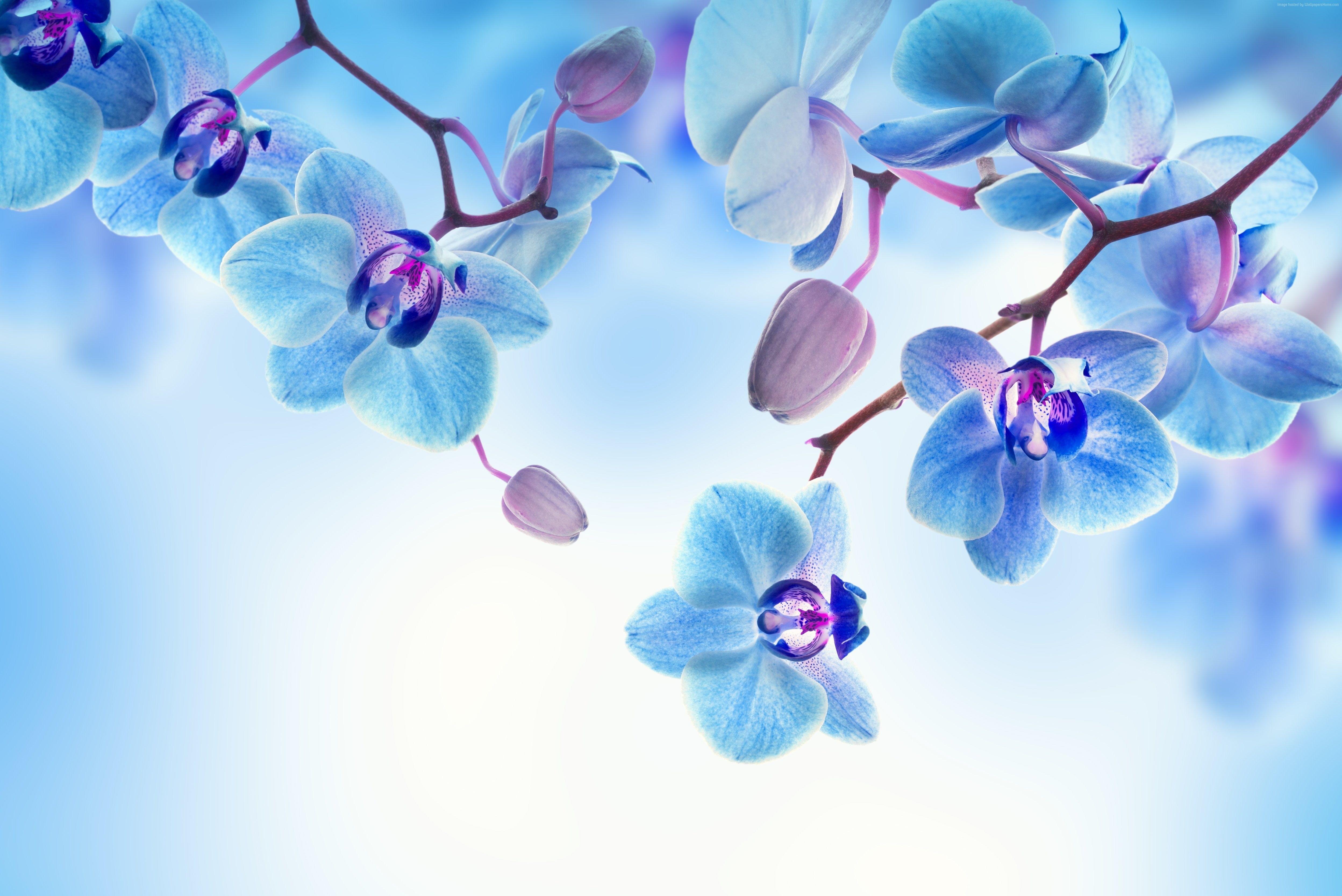 4k 5k Orchid Blue White Flowers 4k Wallpaper Hdwallpaper Desktop Orchid Wallpaper White Flower Wallpaper Orchid Flower Fantastic orchid flower wallpaper