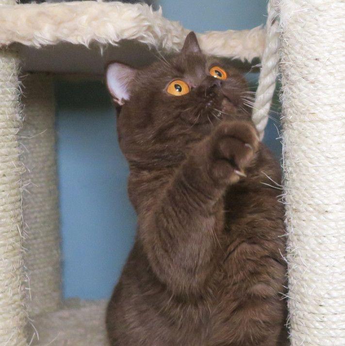Pearlescent Breeder of Pedigree British shorthair Cats