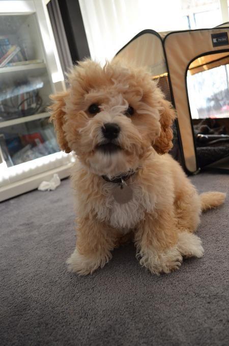 Poodle Bichon Frise Cocker Spaniel Mix Puppies Cute Dogs