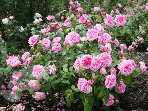 rosa 39 gertrude jekyll 39 agm english rich warm pink full petalled rosettes strong fragrance. Black Bedroom Furniture Sets. Home Design Ideas