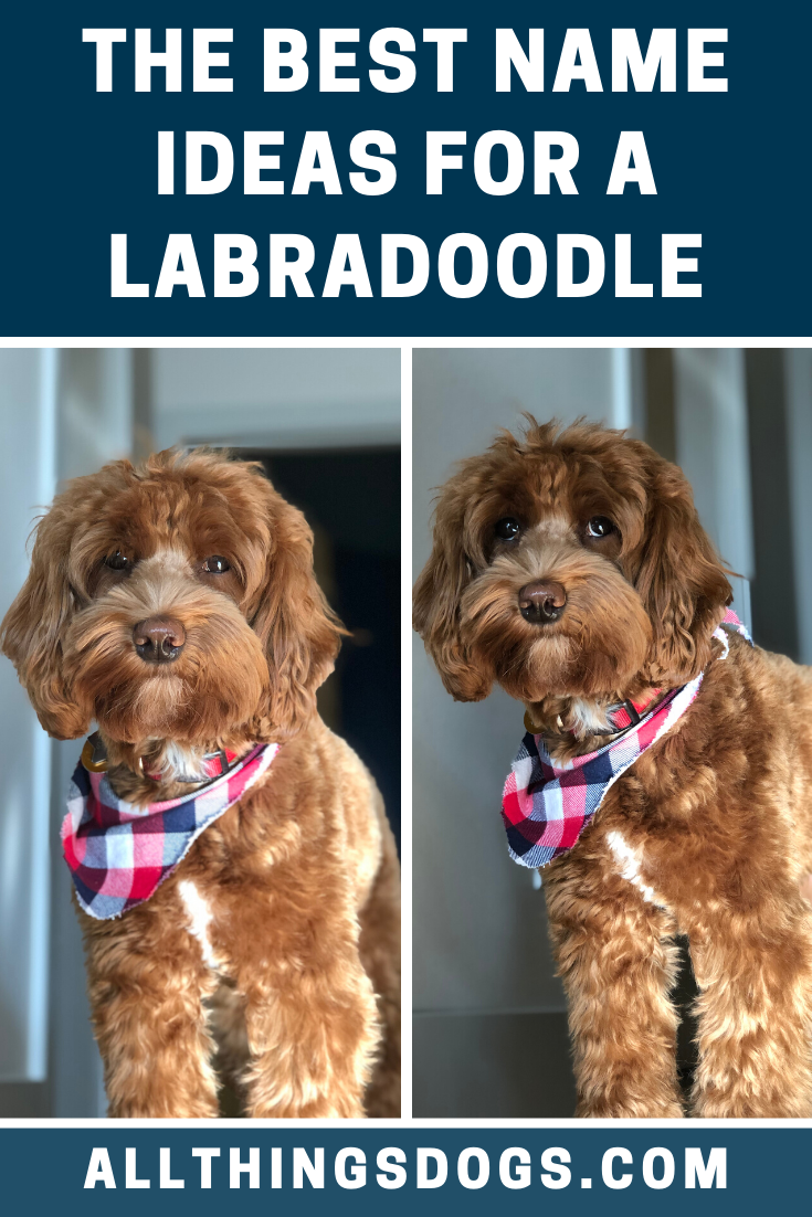 Labradoodle Names In 2020 Labradoodle Labradoodle Dogs Working Dogs