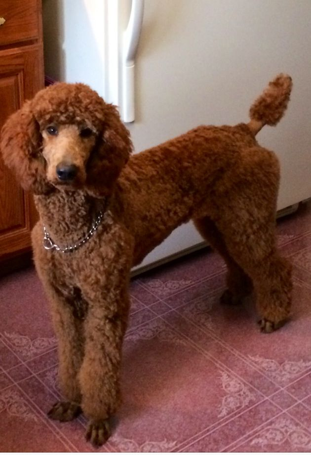 Pin By Jane West On Red Standard Poodle And More Standard Poodle Haircuts Poodle Haircut Standard Poodle