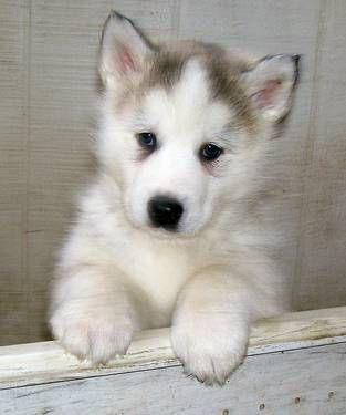 Exquisite Huskamute Puppies Cute Animals Puppies Dogs And Puppies