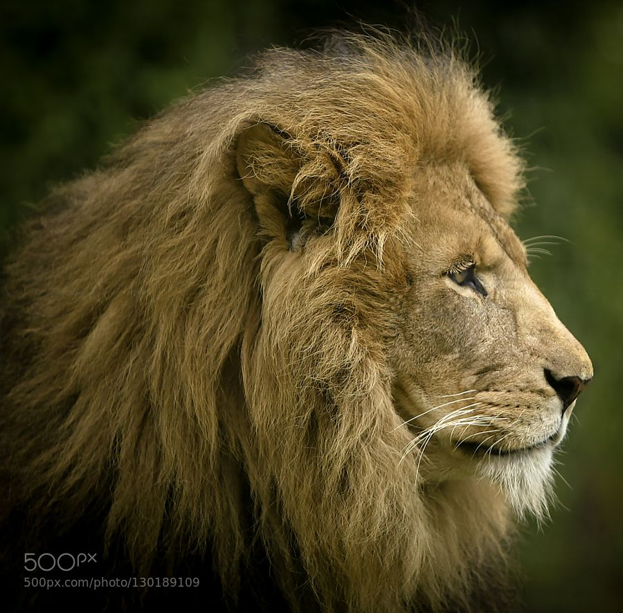 Lion by AdamSharp #animals #pets #fadighanemmd