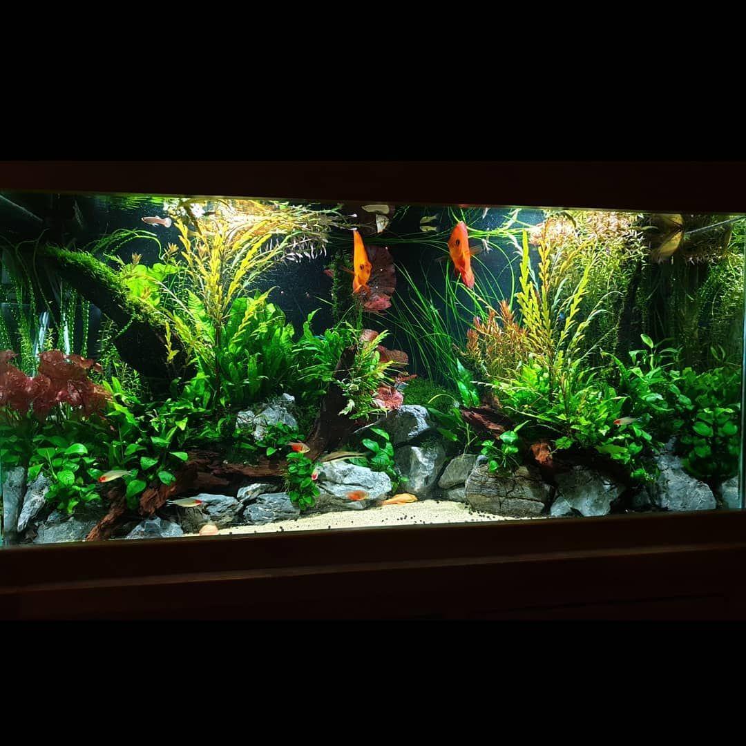 The Discus Community Tank Is Now Well Community Tanks Tropical Fish Aquarium Discus Aquarium