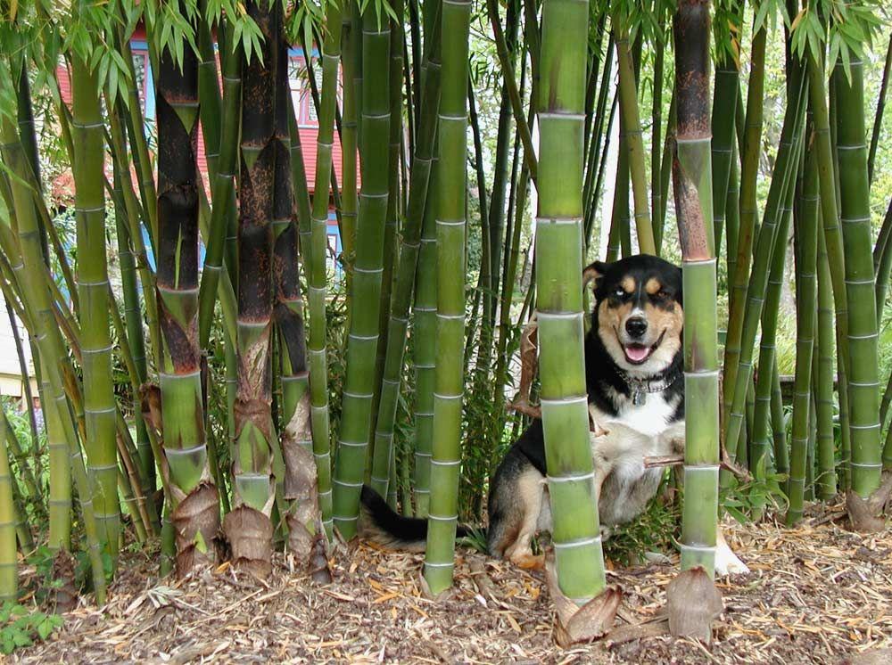 Bamboo is a giant woody grass, not a tree! Very good info on - bambus garten design