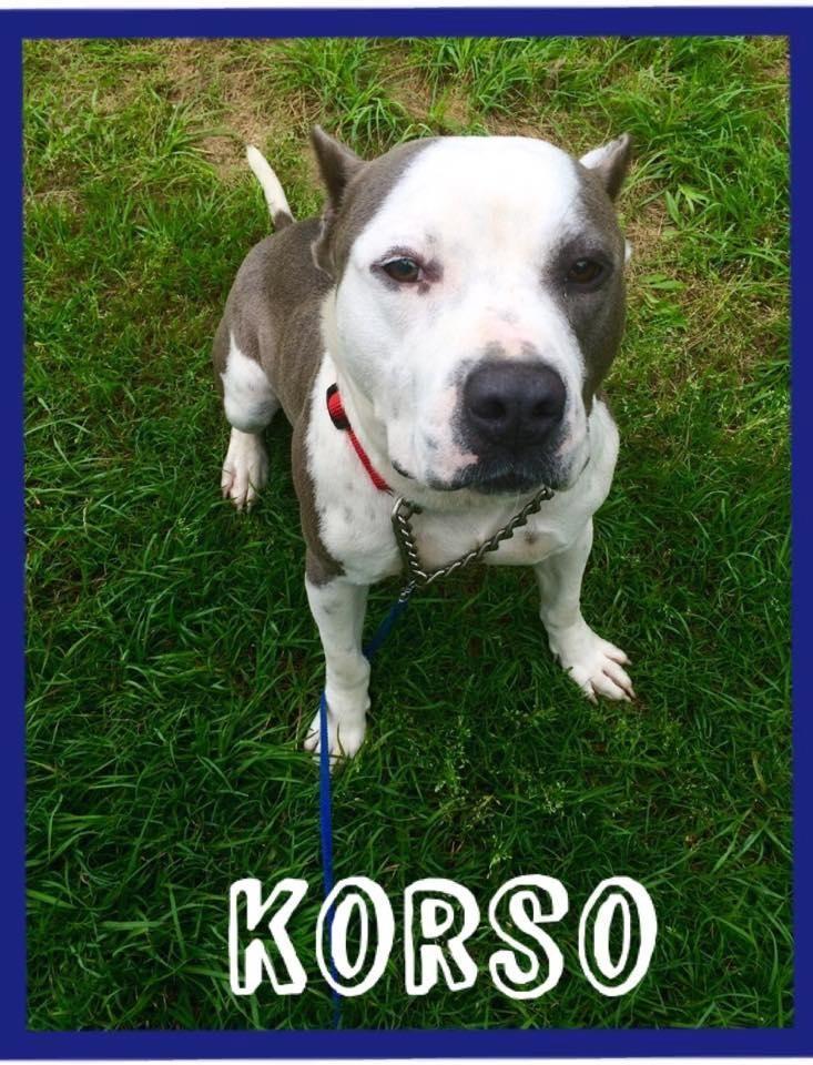 Adopt Korso On Bull Terrier Dog Dogs Animals