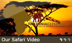 www.tanzania-experience.com is a website full of information of safaris in Tanzania. They will help you organise your safari as well!