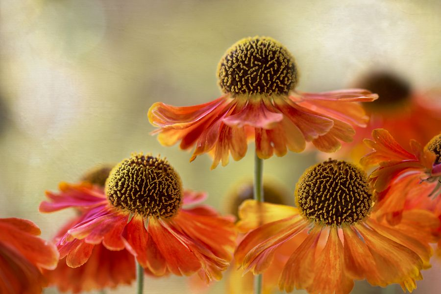 Helenium sunset by Mandy Disher, via 500px