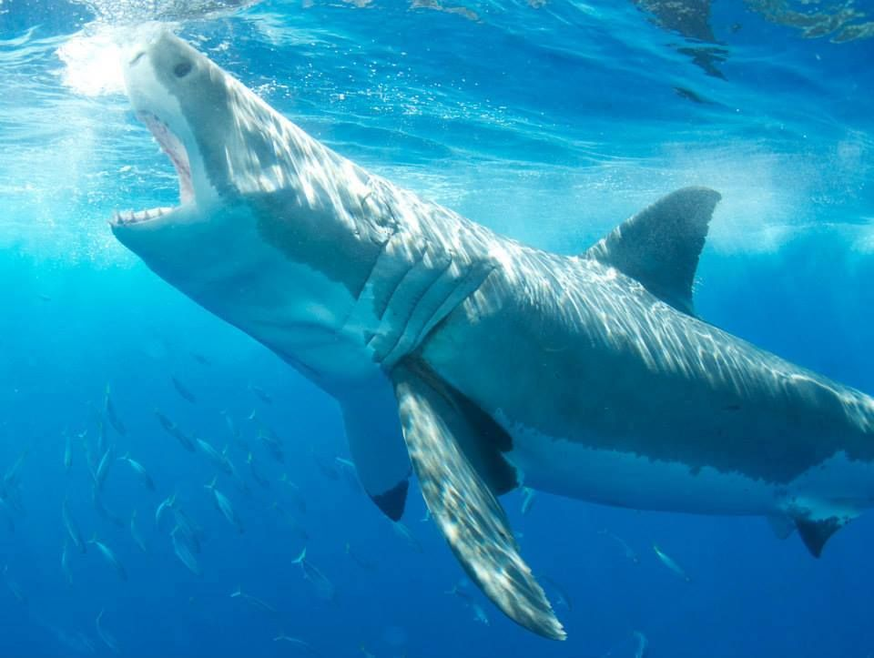 Great White Shark | Sharks | Pinterest | Tiburones, Gran tiburón ...