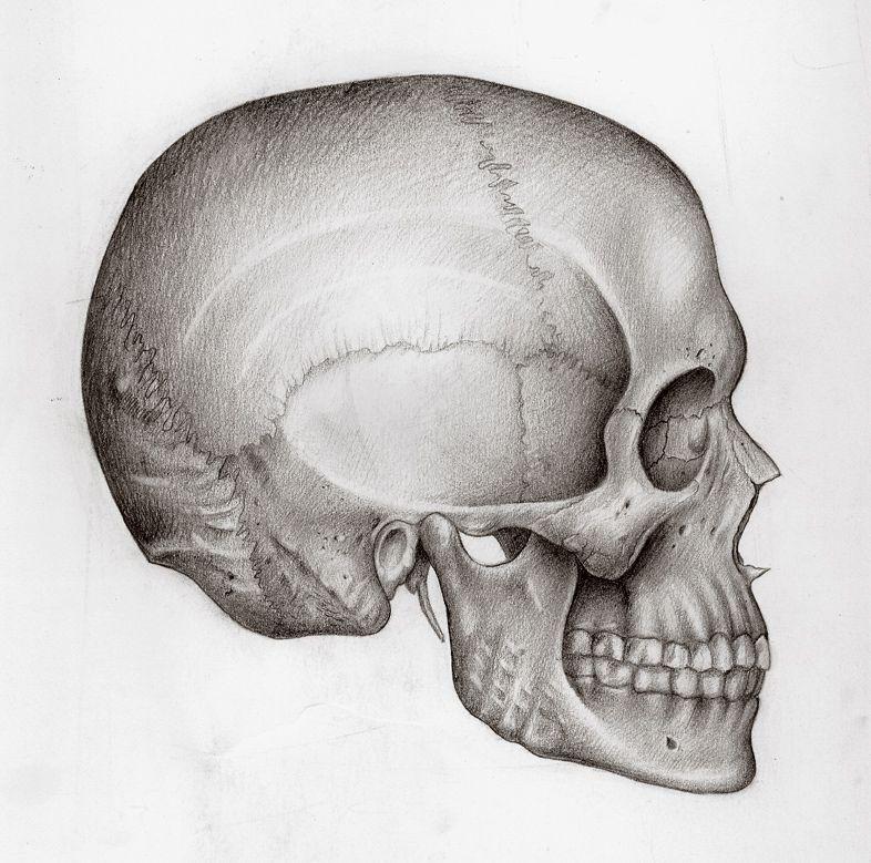 картинки анатомический черепа будет