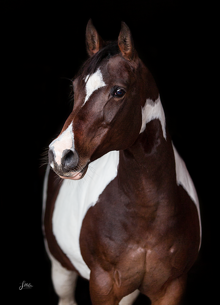 Photo of classic horse portrait against black background #pferdeportrait #schecke #p …