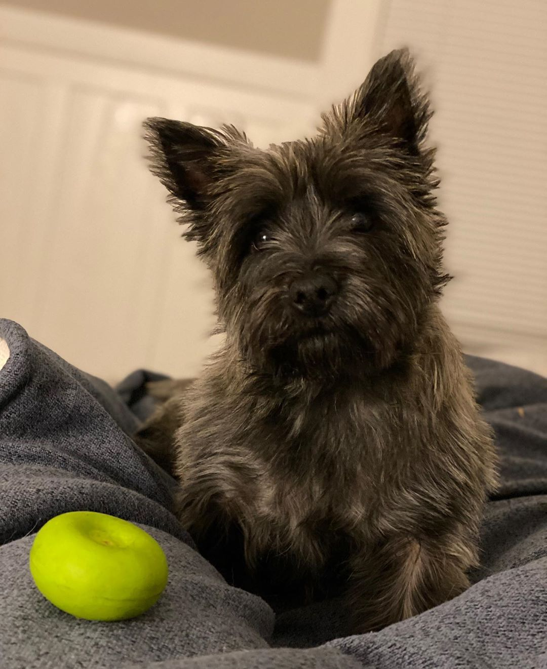 Pin By Mrs Nightshade On Cairn Terrier Frozen Dog Dog Food