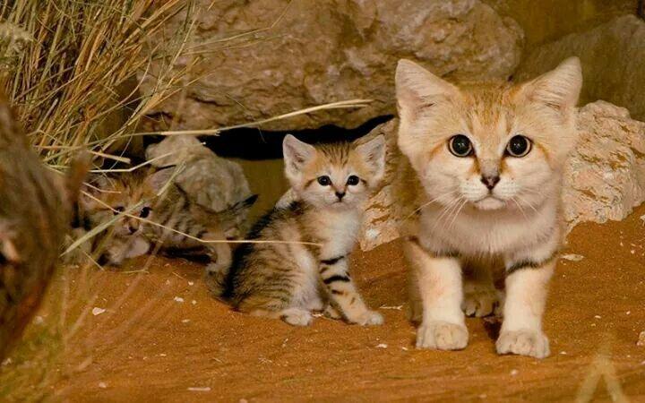 Sandkatzen Katzen Rassen Katzenarten Katzenrassen
