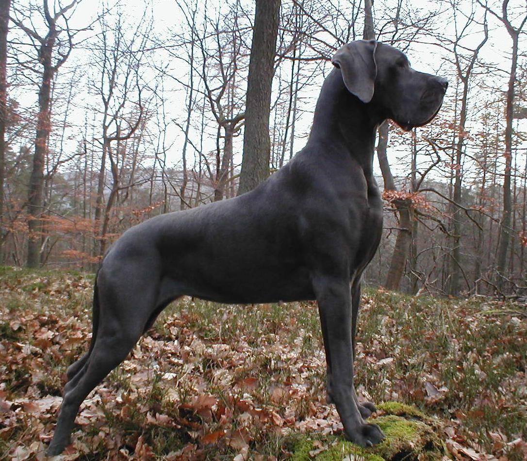 deutsche doggen Deutsche Dogge Hund Wesen, Erziehung