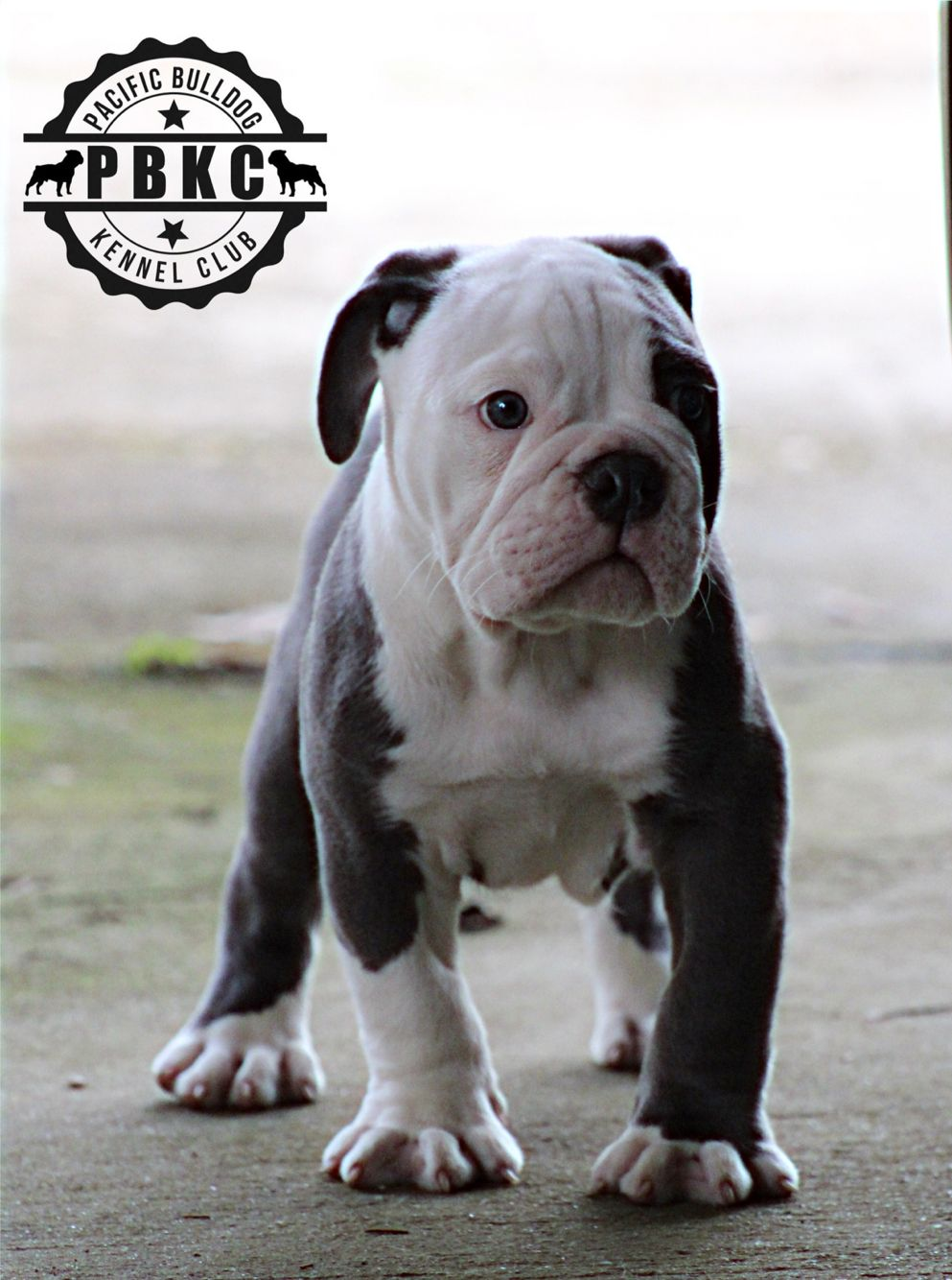 Legend Pacificbulldog Pbkc Abkc Bulldog Bully Breeds Dogs